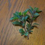 Fresh oregano from the garden is a convenient ingredient for herbal tea.
