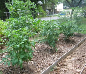 Tomato plants with inadequate supports.