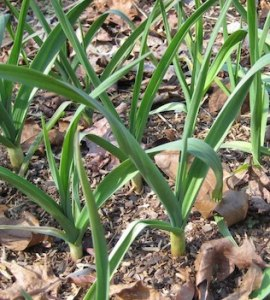 Garlic growing in the garden, spacing is a grid pattern, and the plants are surrounded by a fine-textured mulch.