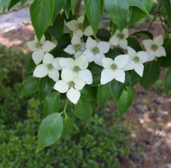 White four-petaled flowers of Kousa dogwood on branch with dark green leaves. Petals are actually bracts.