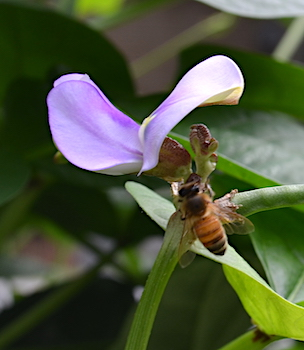 Honey bee and purple pea flower