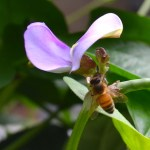 honeybee at base of a purple flower