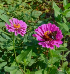 Two pink zinnia flowers and one butterfly, a silver spotted skipper