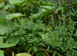 Basil plant with flower spikes