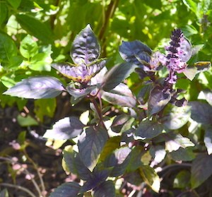Purple leaves and purple flower spike of red rubin basil