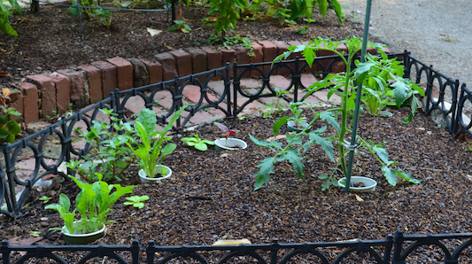 Small tomato plant next to a stake, and several Swiss chard plants planted in an arc nearby