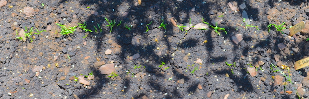 Rows of carrot seedlings in partly shaded garden