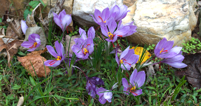 Purple flowers, each with six petals, three yellow pistols and red stamens, growing near rocks in a green lawn.