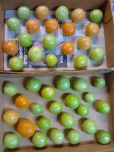 View straight down into flat boxes containing red and green tomatoes in a single layer, an inch or two apart from each other.