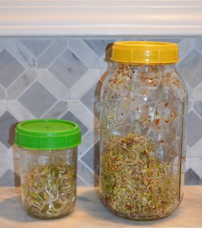 Sprouts growing in two mason jars.