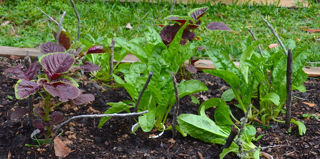 Swiss chard and Chinese Multicolored Spinach plants growing in the garden. Sticks standing around the plants deter squirrels from digging nearby.