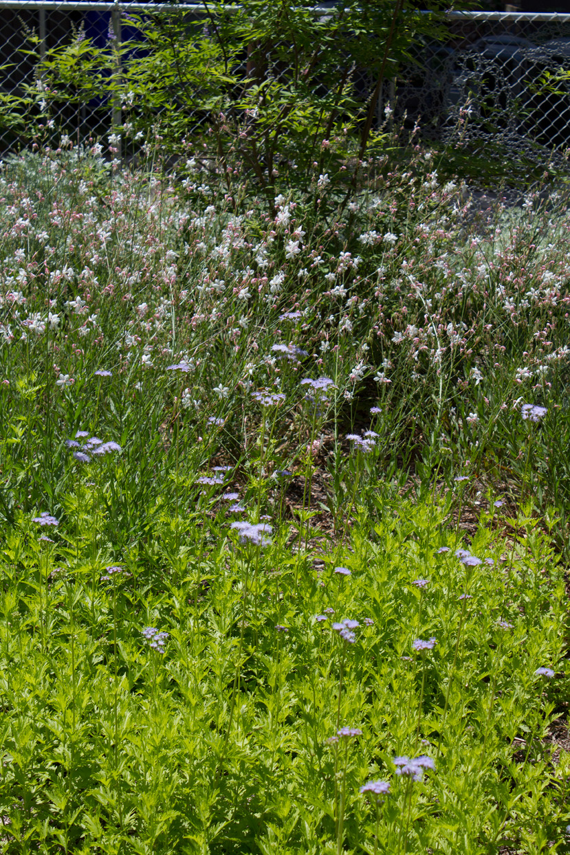 above front: the Blue mistflower; towards the back: White Gaura