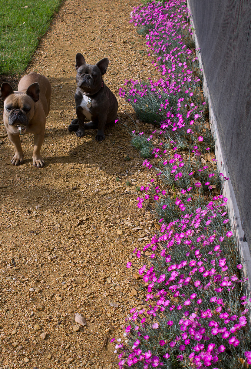 (above) Brewster and Beulah have been merciful to my Dianthus gratianapolitanus 'Firewitch'. For some reason, they like to tear apart numerous garden plants. I've installed temporary green fencing around the endangered areas to prevent the twins from doing any more damage. Please note that the Firewitch had already peaked a week prior to taking this photo.