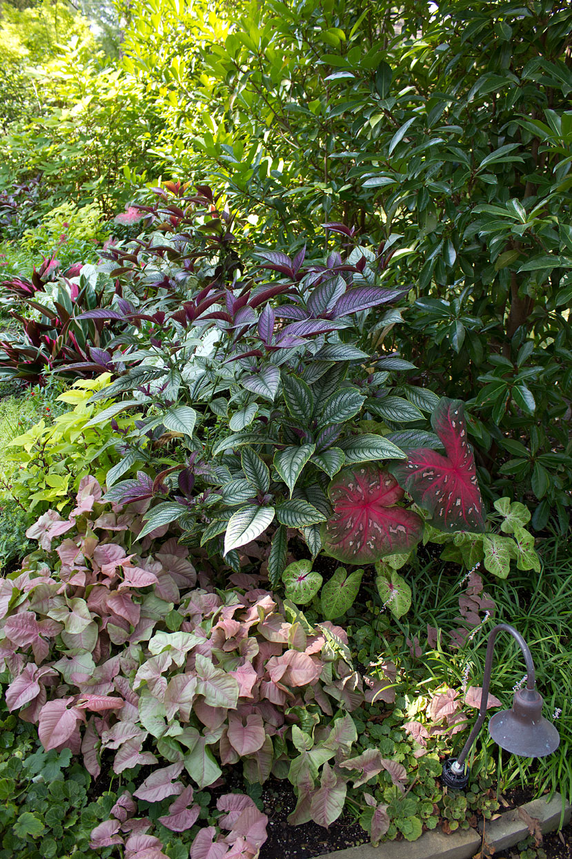 (above) This shot was taken last summer. The Syngonium Neon Tetra is the pink stuff in the lower left corner.