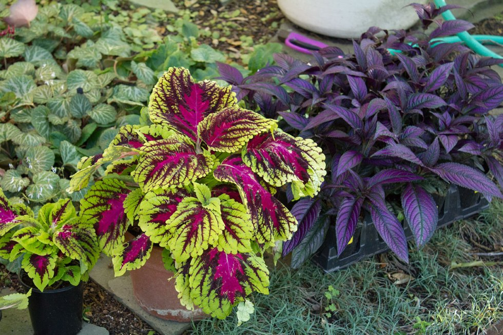 (above from left to right) Kong Rose Coleus and Persian Shield