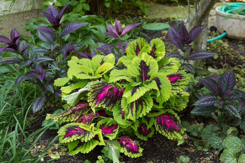 (above) The Kong Rose Coleus adds some pop to a dark corner, while the Persian Shield adds height and depth.