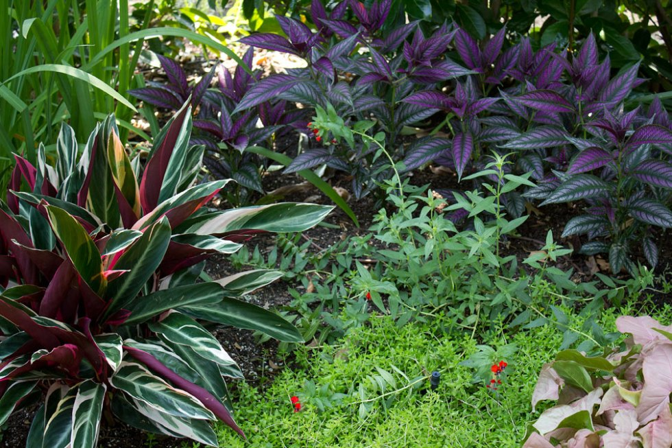 (above) In the lower left hand corner is a variegated annual called Stromanthe Tricolor. The low growing perennial in the bottom middle is called Sedum sarmentosum 'Yellow Moss'. And down in the right bottom corner, there's the pink leaf annual, Syngonium Neon Tetra.