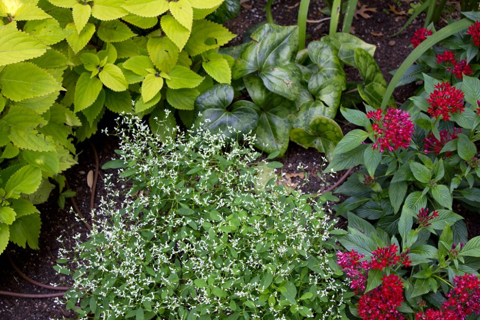 (above left to right) Pineapple Coleus, Diamond Frost Euphorbia, Red Pentas. The big glossy heart-shaped leaves belong to a perennial called Chinese Wild Ginger.