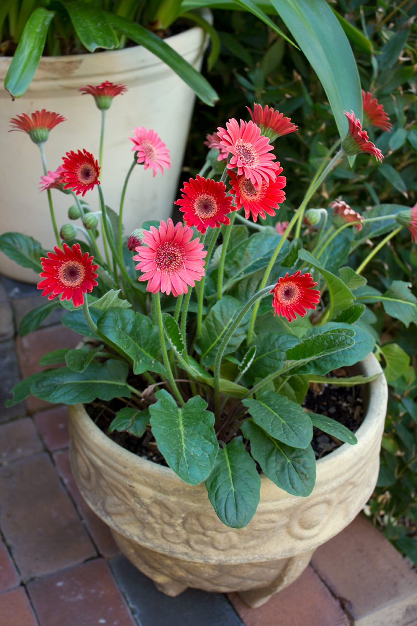 These potted Gerbera daisies were planted last spring. I didn't think they would come back, but just in case, I placed them in my greenhouse for the winter, and except for weekly watering, I pretty much ignored them. Lo and behold they came back!