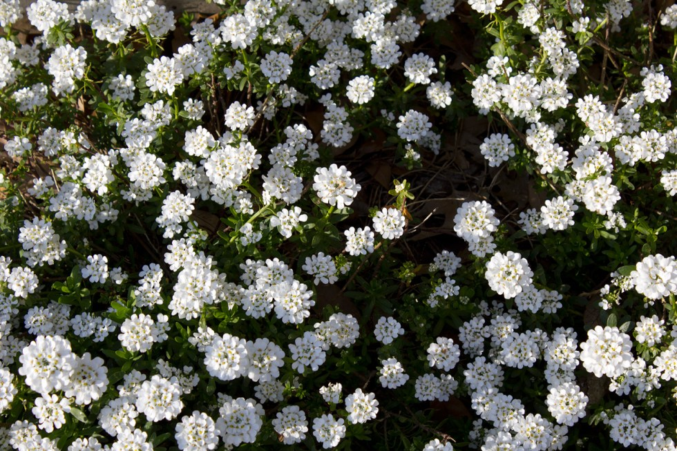 (above) Candytuft 'Iberis sempervirens'