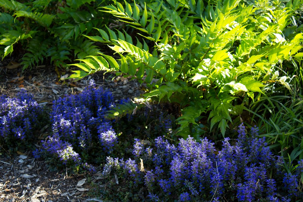 Ajuga 'Chocolate Chip' (the purple flowers) the will send it up blooms before it produces new leaves.