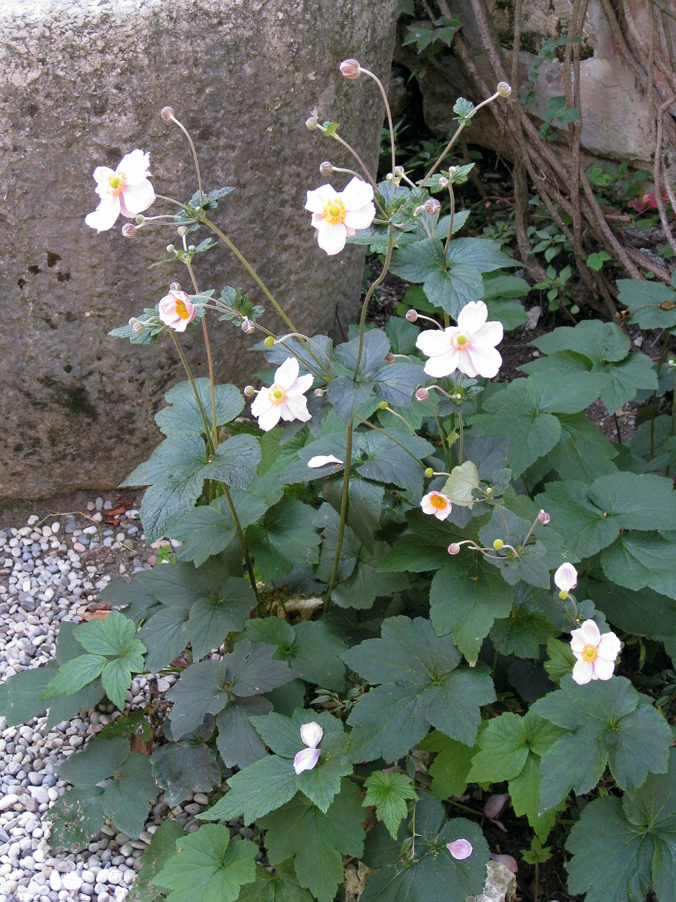 (above) a close-up view of the anemones in the gardens of Villa Giusti