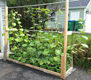 Trellis; Wicking Bed; Rain Gutter Grow System; Hybrid Rain Gutter Grow System; Peppers; Cucumbers; Jalapenos; Dill; Wicking; Raised Bed