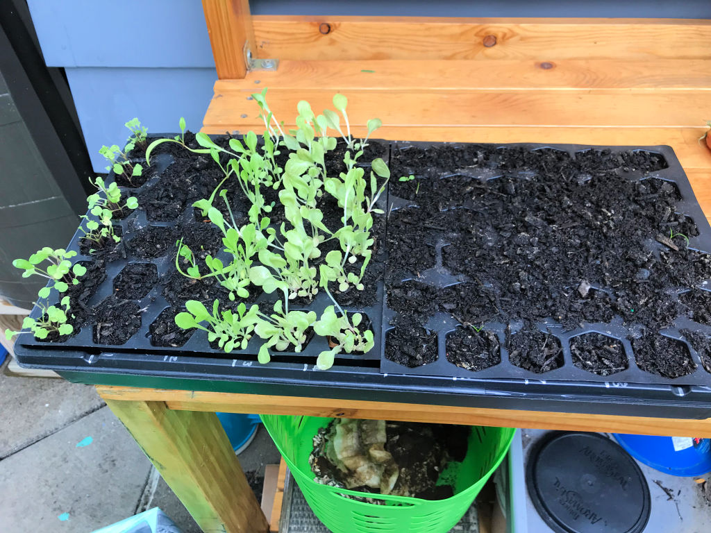 The lettuce, arugula and some spinach continue to grow.  I will transplant them into the gutter gardens and see what happens!  - October 2018