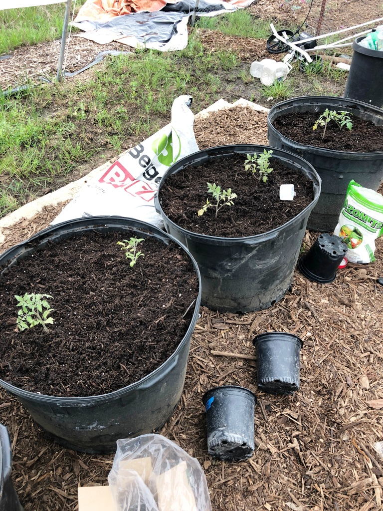 Building an Urban Farm from Scratch, Container Tomatoes