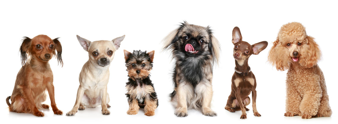 Mean Small Dog Breeds