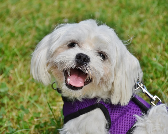 facts about maltese dogs maltese facts the smart dog guide 7208