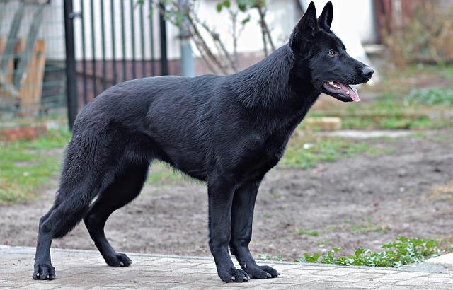 19++ Anjing labrador hitam terupdate