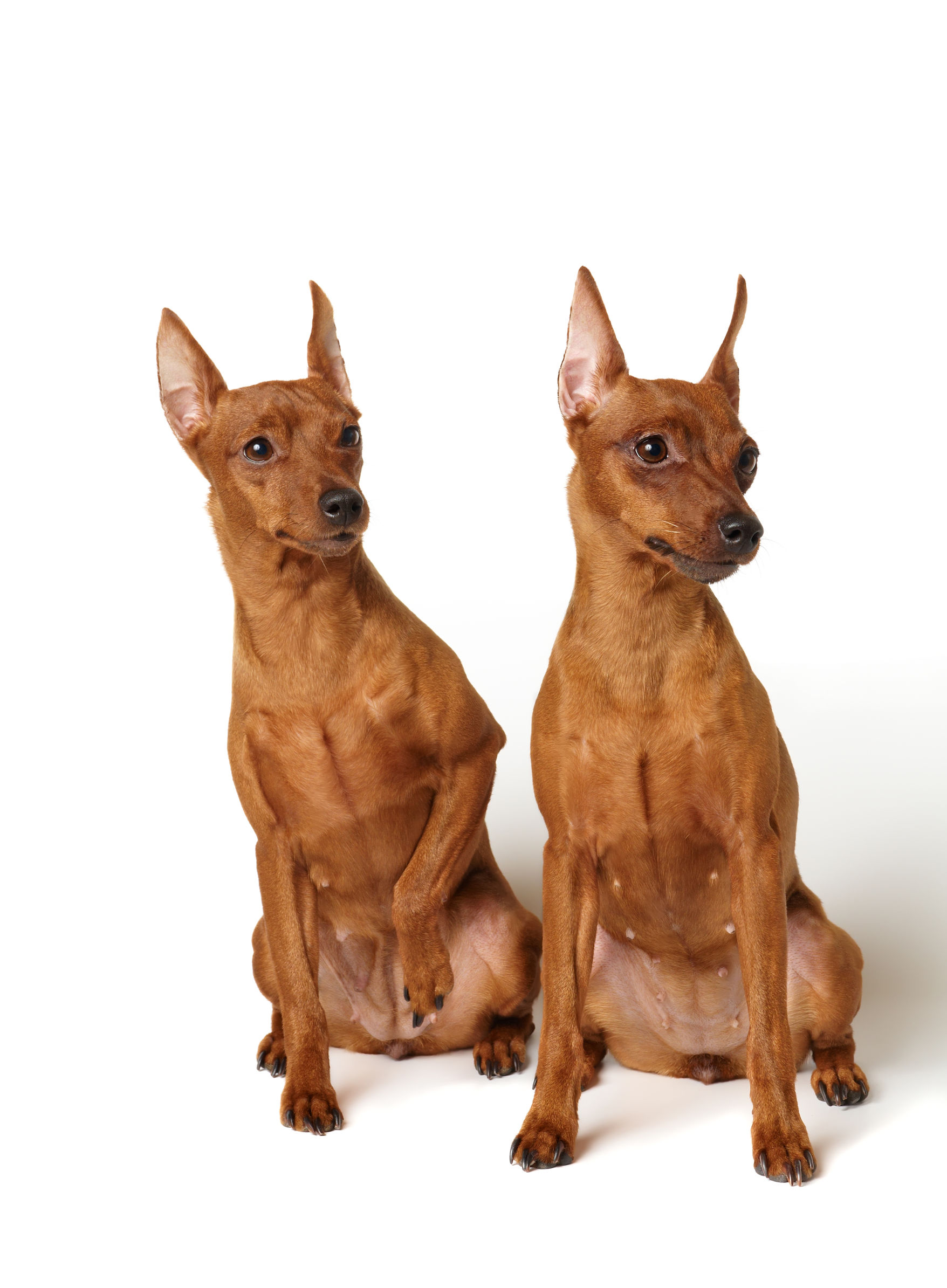 Red Dog Breeds The Smart Dog Guide