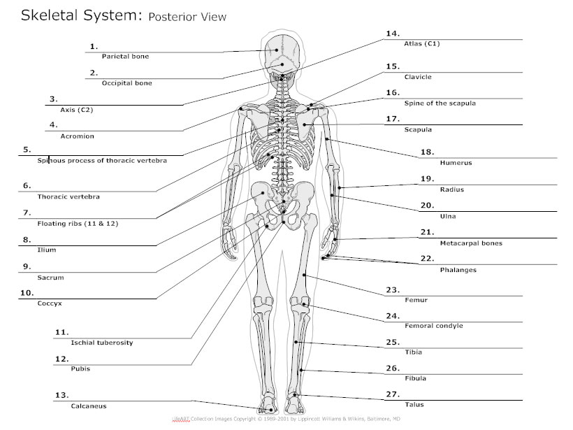 Skeletal System Diagram  Types of Skeletal System Diagrams