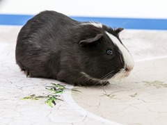 Madama Shiva the Guinea Pig Animals That Can Predict FIFA Winning Team