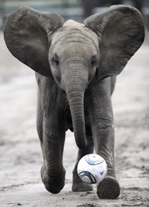 Nelly the Elephant Animals That Can Predict FIFA Winning Team