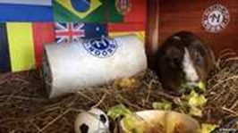 Sikko- a guinea pig Animals That Can Predict FIFA Winning Team