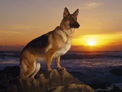 4.german-shepherd