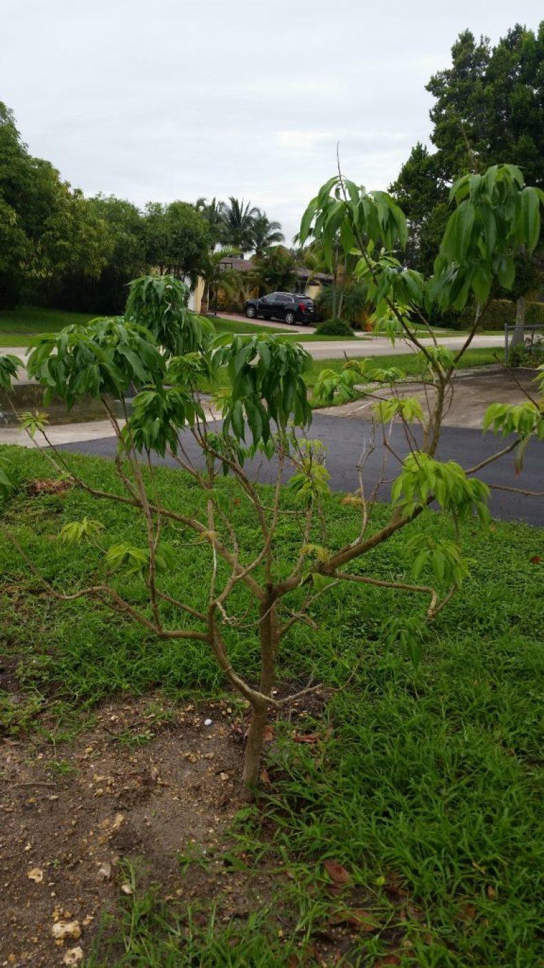 Planting Lychee-04