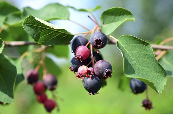 Saskatchewan's Saskatoon Berries
