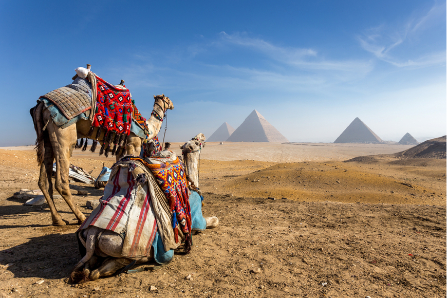 camels staring at pyramids in Egypt.
