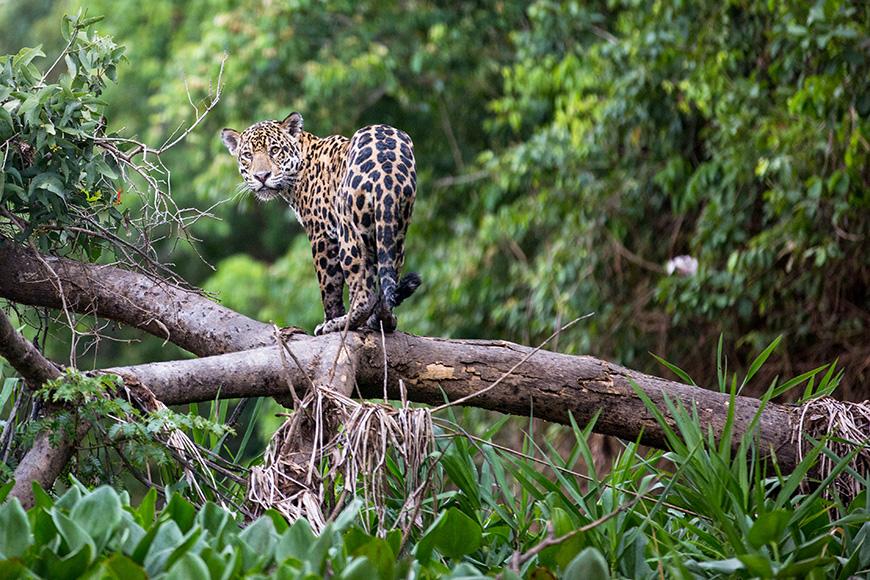 Jaguar in the Pantanal