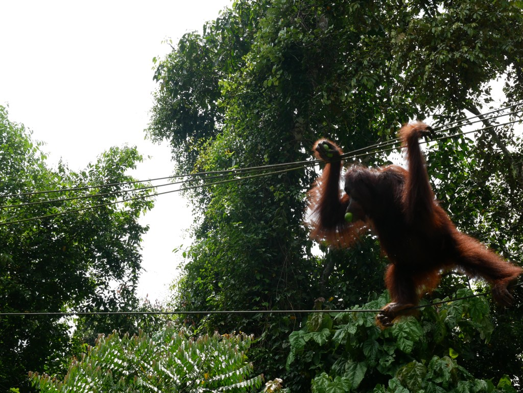 orangutan walking in borneo jungle