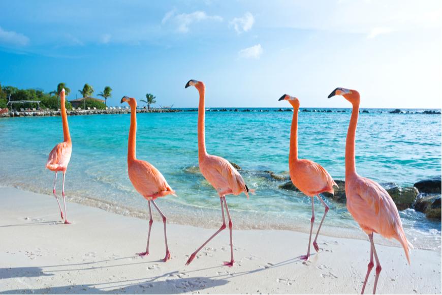 pink flamingoes aruba island.