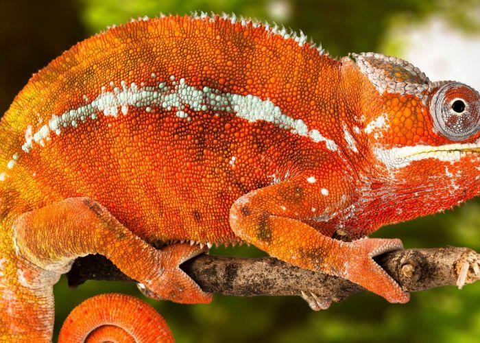 Chameleon at The Florida Aquarium