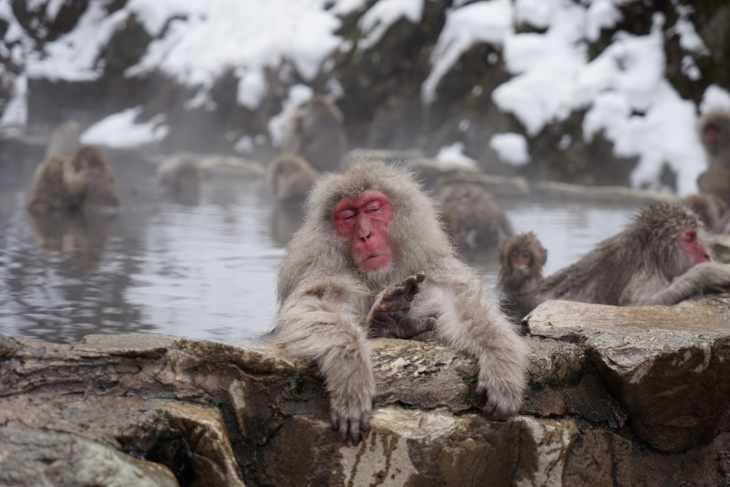 japanese monkey in hot spring
