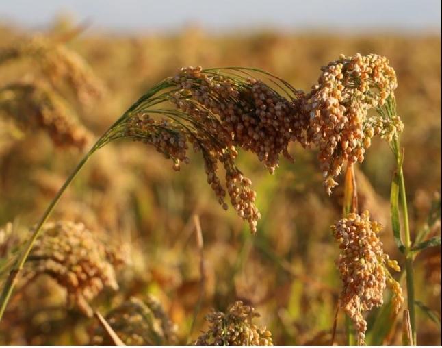 Millet producers discuss future goals