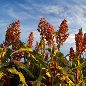 Taking a peek into sorghum's evolutionary history