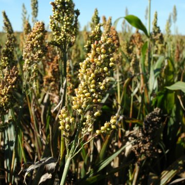 Grain Sorghum Could Be a Fit for Waterlogged Farms
