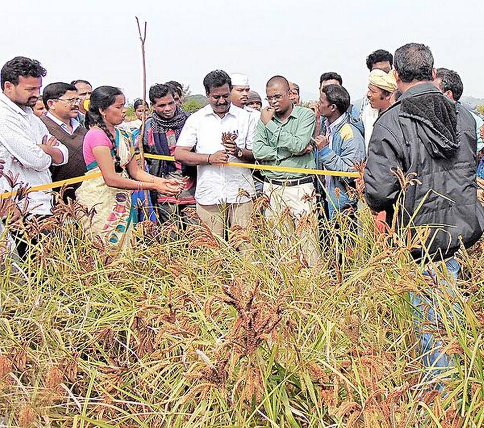 Ragi farmers strike it rich, thanks to 'Guli' cultivation practice